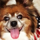 A photograph of Pappy Tipton, a Papillon dog with soulful eyes.