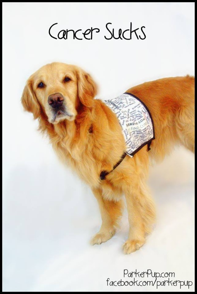 A photograph of Parker Pup, a Golden Retriever nominated for 2014 American Humane Association Hero Dog - Therapy Dog.