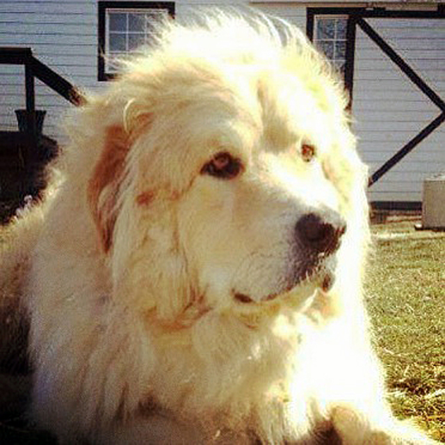 A photograph of Shep, the Great Pyrenees dog who helped Richie Tipton rediscover the boy in himself.