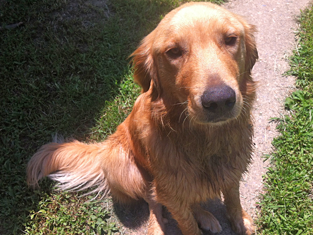 A photograph of a dog named Merlin. He's a Golden Retriever and one of the rescued dogs who live with the K9 Muse, Rebecca Johnson.