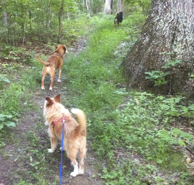 A photograph of dogs on a dog walk in the woods. Mooch, Squirt and Annie in the distance.